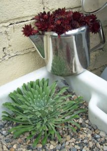 Saxifraga Tumbling Waters with a deep red Sempervivum in one of my mother's wedding present tea pots
