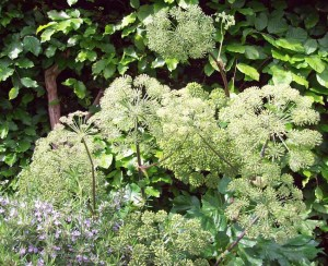Angelica with rosemary