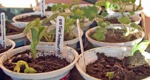 Broad bean seedlings and geranium cuttings