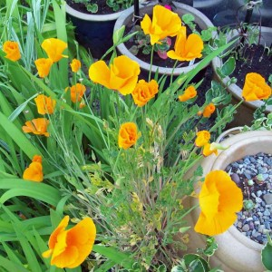 Early Californian poppies