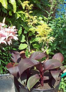 Golden elder with Canna and lilies