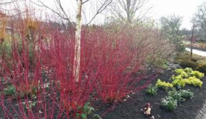 Cornus siberica and Betula Greywood's Ghost at RHS Harlow Carr