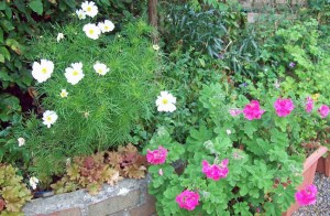 Cosmos Cupcakes and scented geraniums
