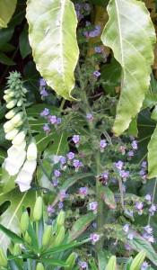 Blue Echium pininana with white foxglove