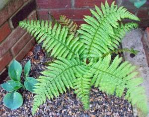 Soft shield fern and hosta Big Daddy