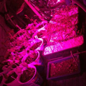 Grow light in the conservatory over sweet peas, tomatoes and Echiums