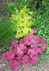 Heuchera, Campanula carpatica, chives