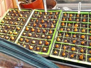 Onion Rumba sets