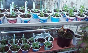 Perennial plug plants