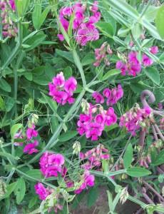 Bright pink perennial sweet pea