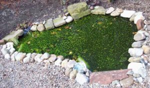 Pond algae barley straw