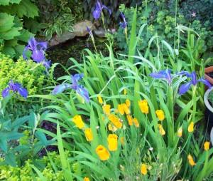Water iris and Californian poppy