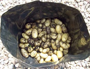 Lots of second-early potatoes Jazzy in a little 8l bag