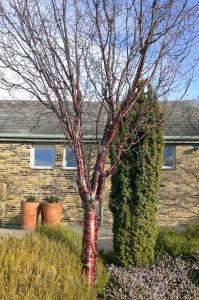 Prunus serrula (Tibetan cherry)