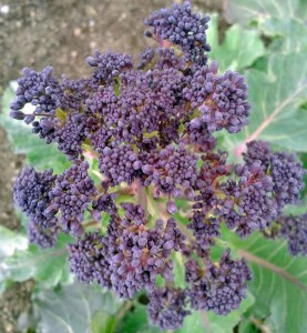 Sow purple sprouting broccoli this month