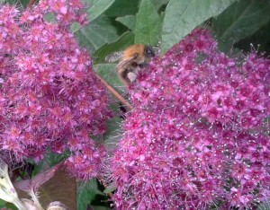 Bee on Spiraea japonica Goldflame