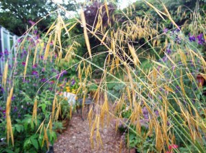 Stipa gigantea on a soggy August day