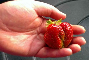 Everbearing strawberry from Lubera