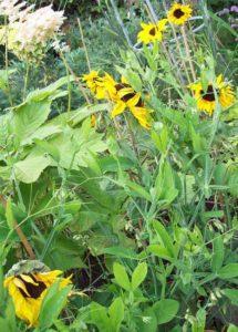 Everlasting sweet pea swamping sunflowers