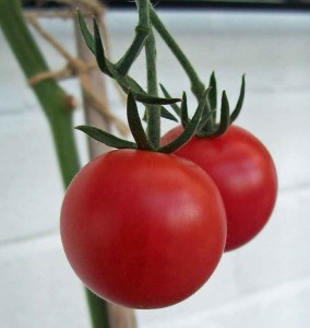 Tomatoes - plants are harmful to pets