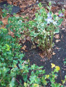 Vinca major variegata with Euphorbia and Hellebores